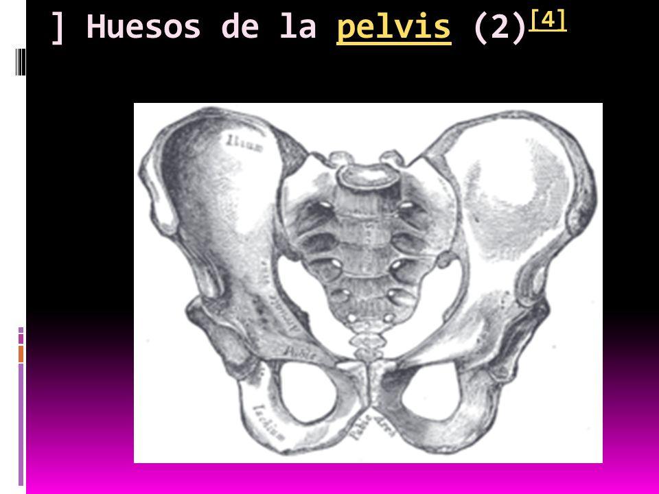 ] Huesos de la pelvis (2)[4]